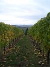 Vineyard2_2